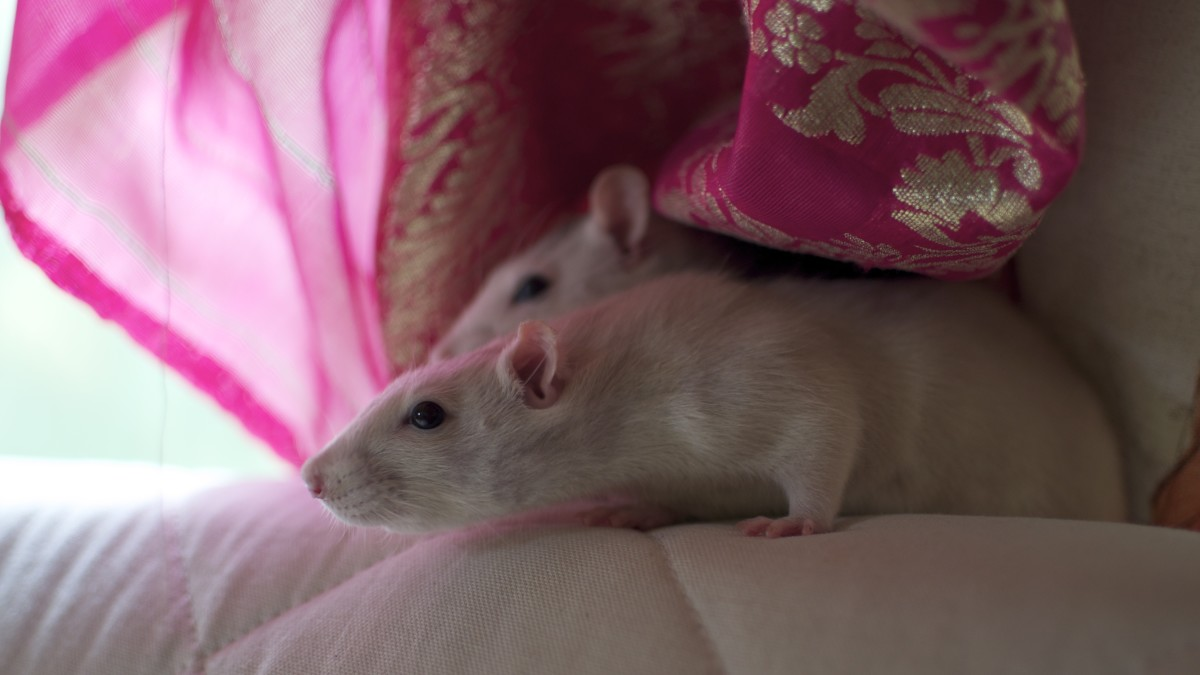 What a beautiful photo of two pet fancy rats relaxing and viewing the world.