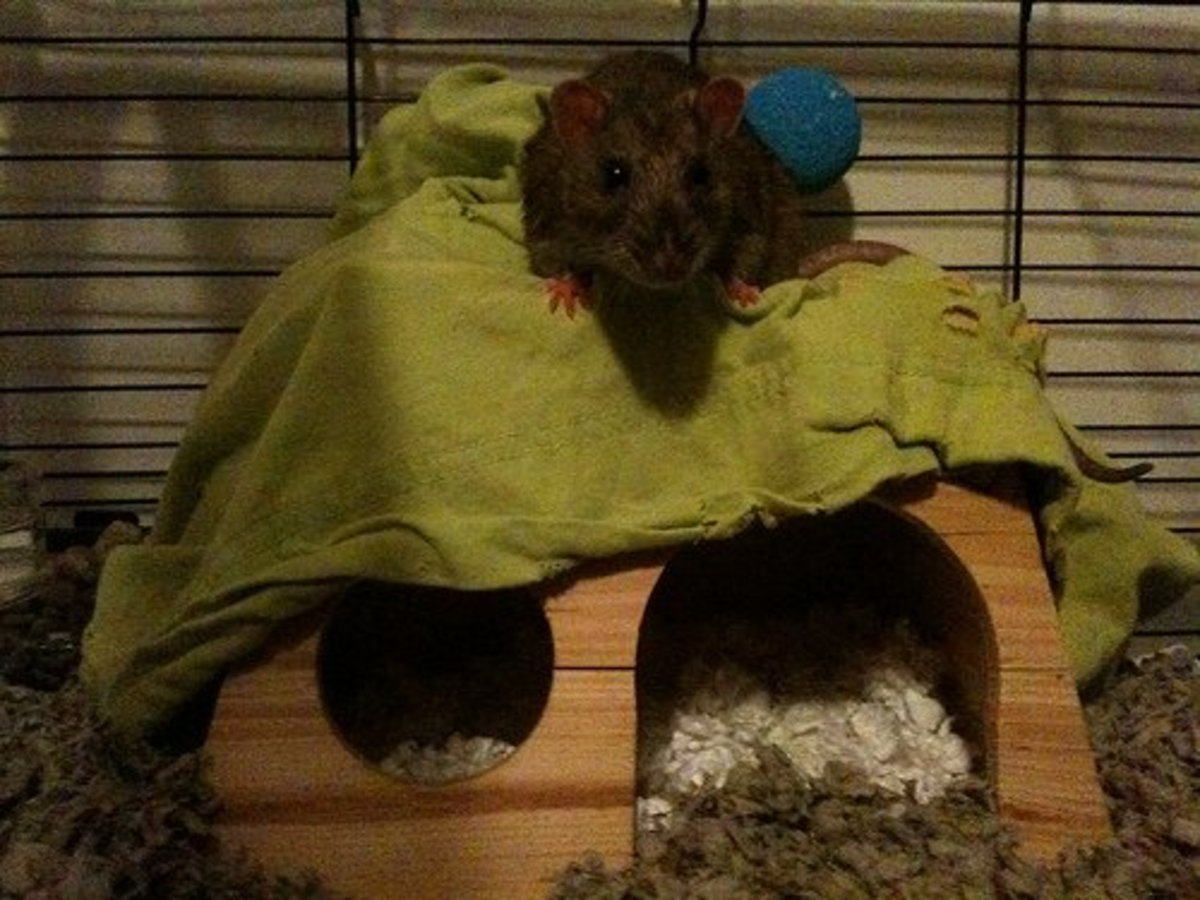 This rat's cage has carefresh as the bedding of choice.