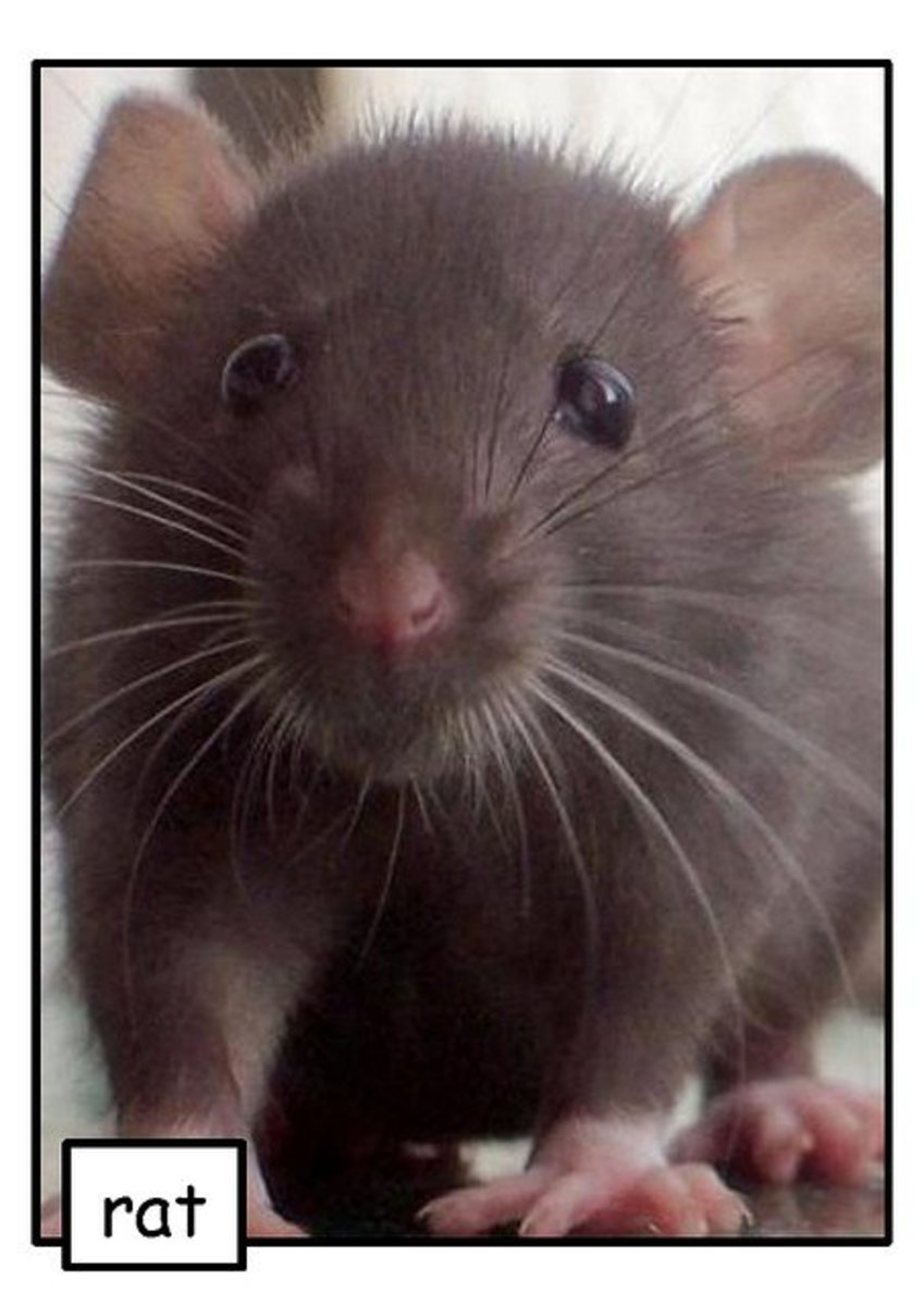 20 Supplies for Pet Rat Care and Rat Cages That Every Breeder and Owner Needs