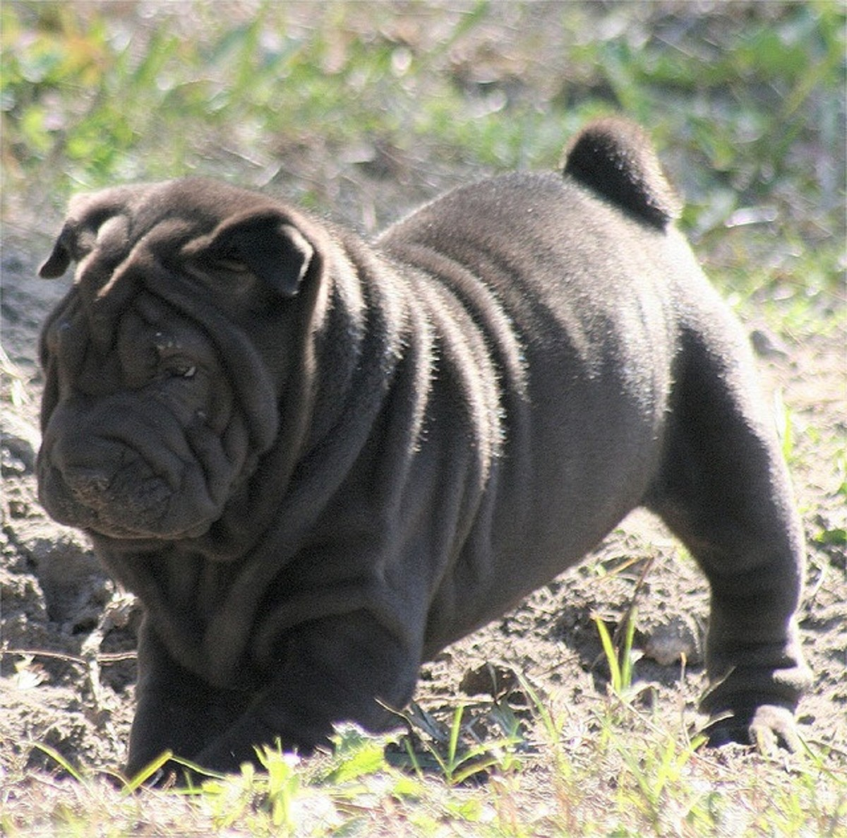The Shar Pei is one of the best medium sized guard dogs.