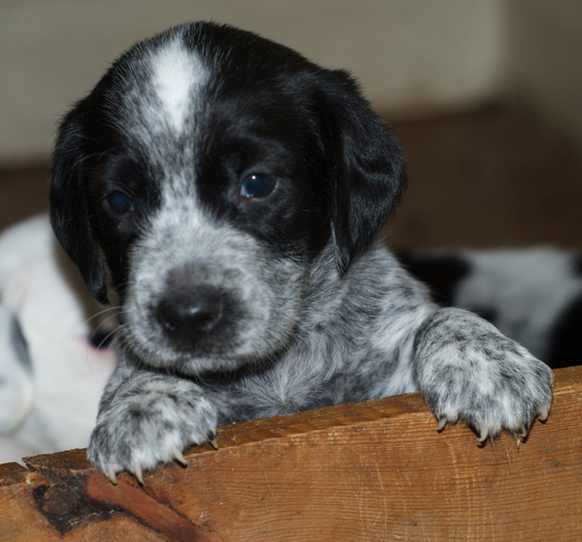 An Australian Cattle Dog puppy.