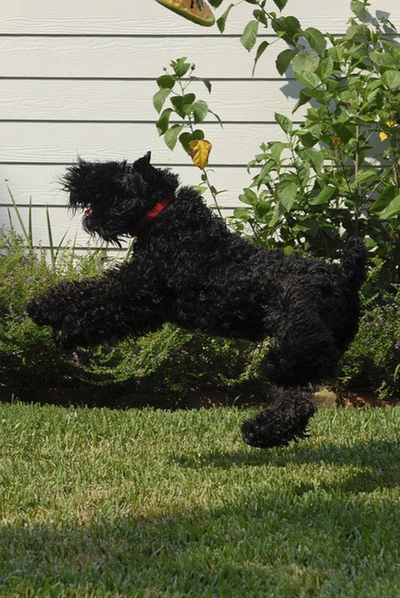 Since the Kerry Blue Terrier does not shed, he does need to be groomed.