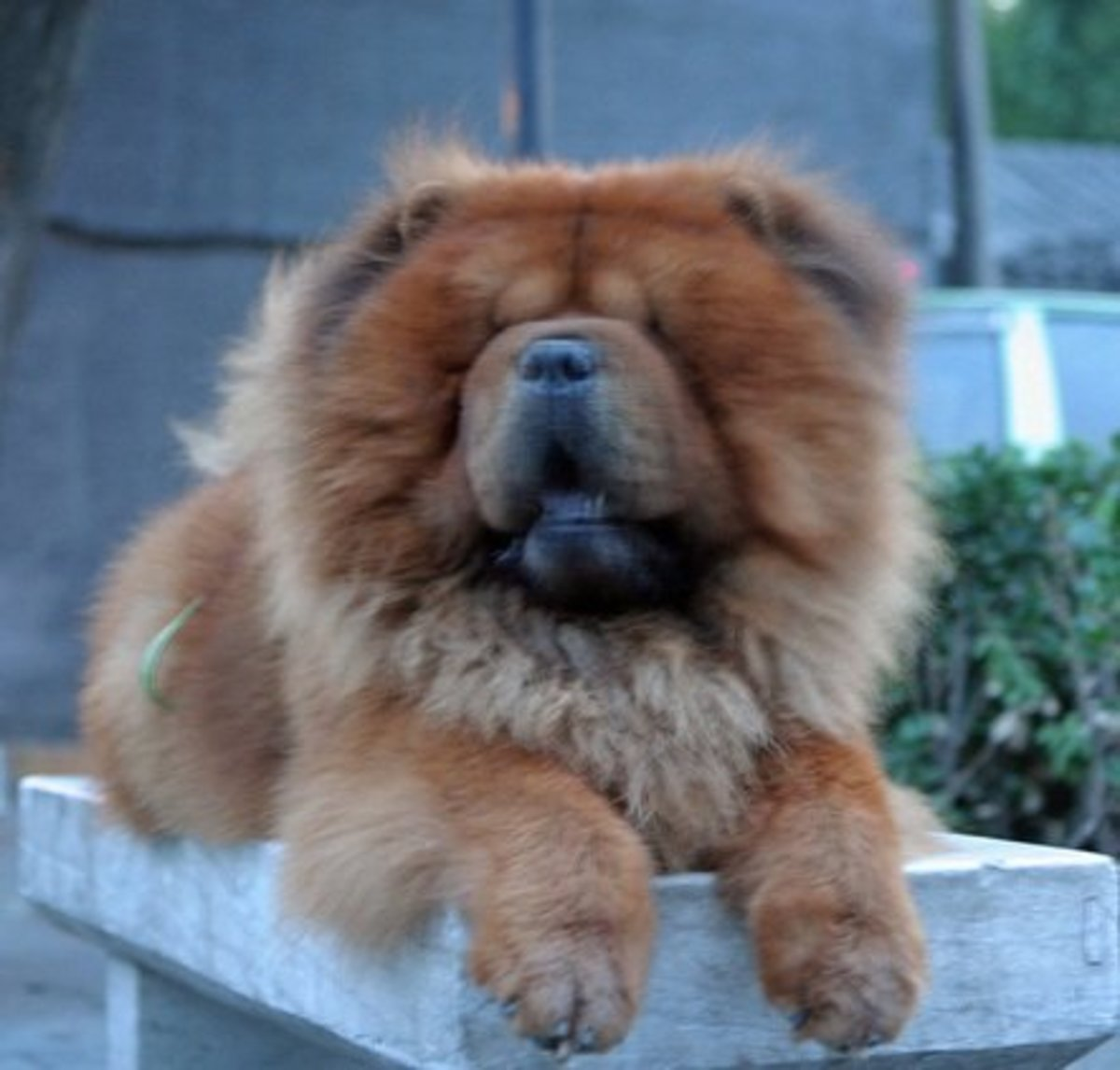 Chows are an attractive guard dog but they do shed a lot.