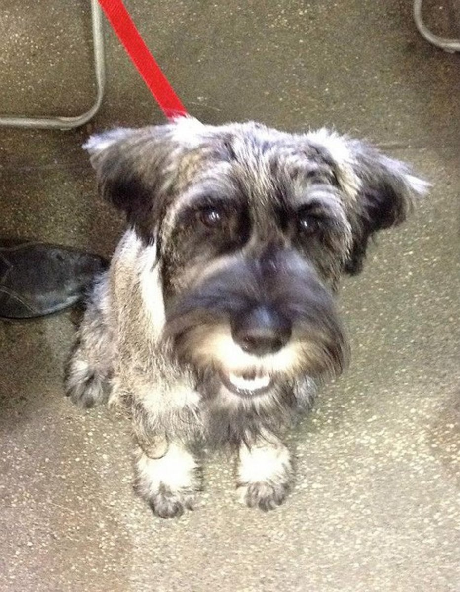 Standard Schnauzers are alert and easy to train.