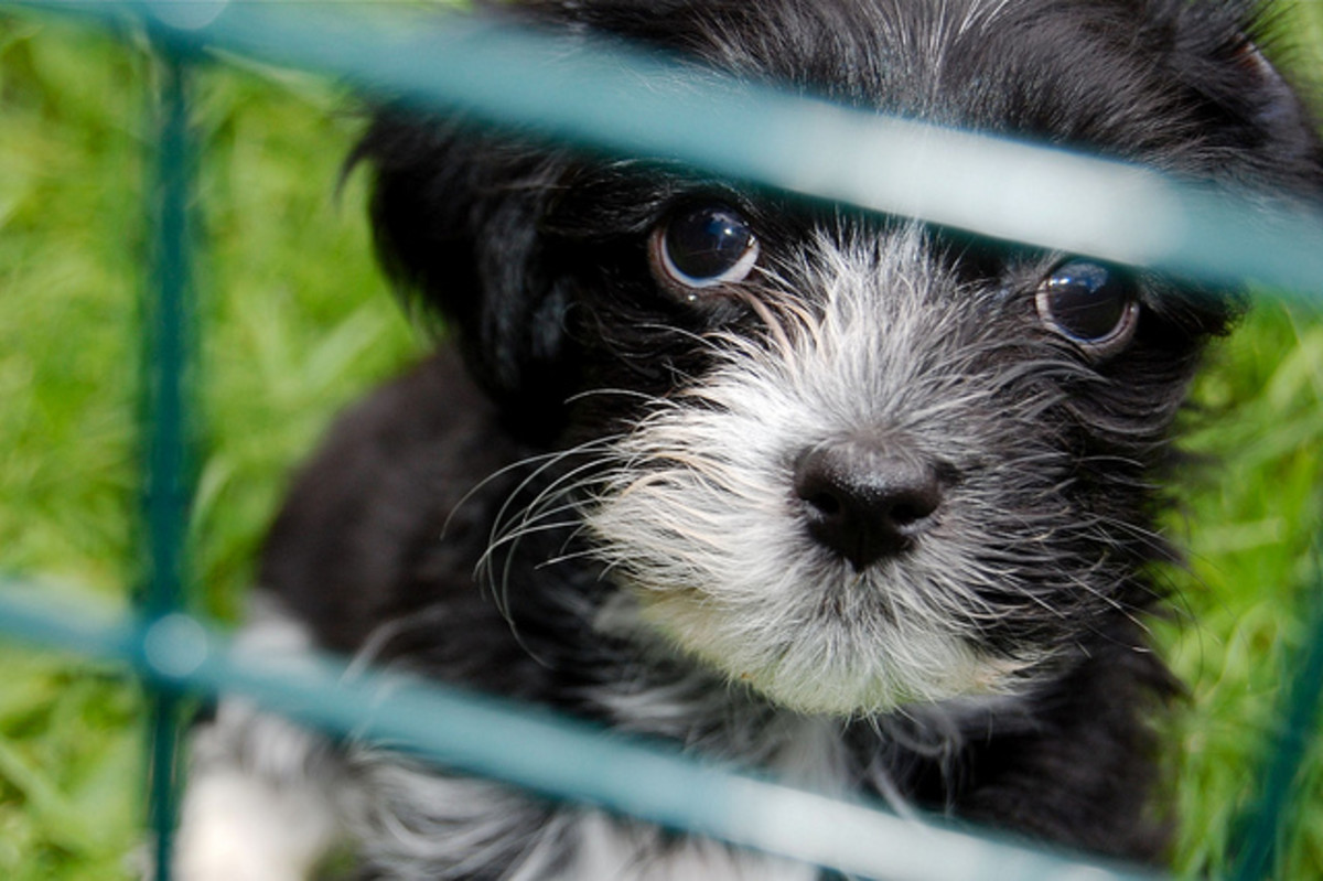 "Considered a toy breed by the American & Canadian Kennel Associations, when full grown, the Havanese dog doesn't have the typical ""small dog"" appearance."
