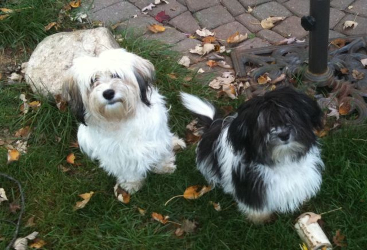 Havanese dogs come in a wide variety of colours with fur ranging from long and shaggy to short and curly.