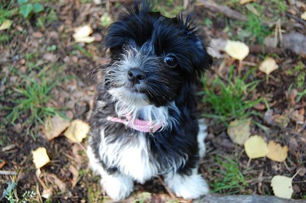 Havanese puppies typically grow up 11 inches in height with an average weight between 7-13 pounds.