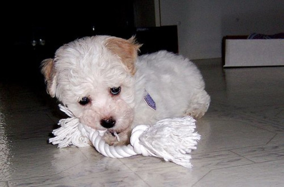 Havanese dogs are perfect for apartment living. They are smaller in size and can be trained not to bark too often. Their exercise requirements are relatively low in comparison to larger breeds.