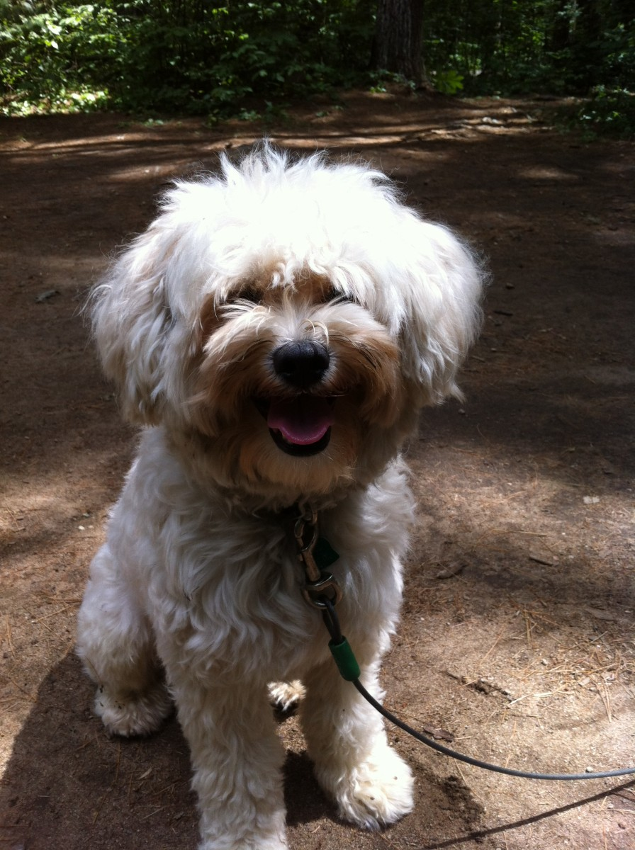 My brother's dog, Rufus. Havanese dogs love to play outdoors, however if you take them on an outdoor adventure you will definitely need to take them to the groomer's afterwards. Their fur is a magnet for sticks, leaves and burrs.