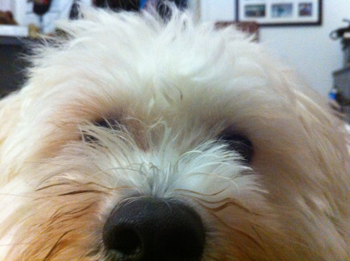 Rufus. Havanese dogs are very curious breeds and love to observe what is going on around them.