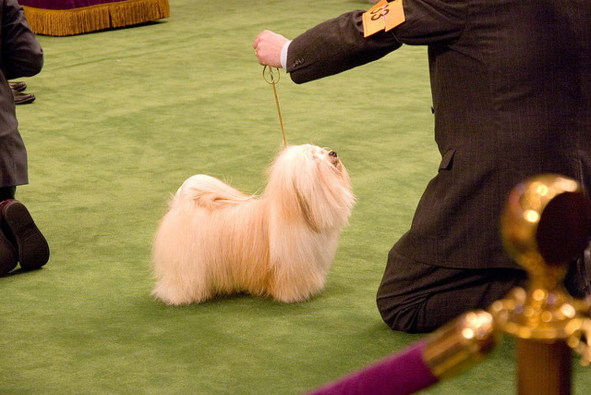 The fur of Havanese dogs can be kept in a variety of styles. You can let their fur grow out, and allow it to become curly, or you can brush it out for a long coat of silky fur, as seen here.