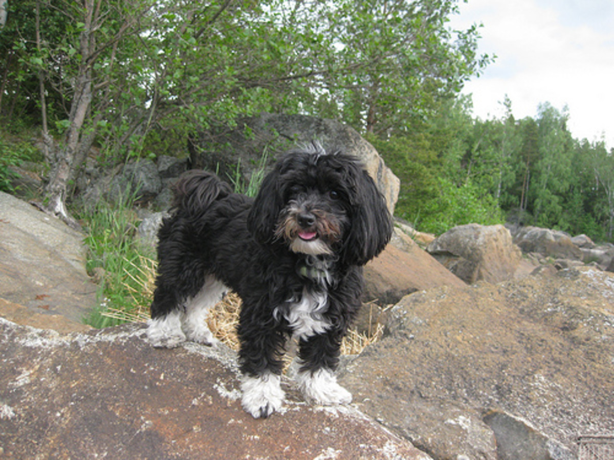 Havanese dogs have an average demand for physical activity, though their need for social activities can be higher than other breeds.