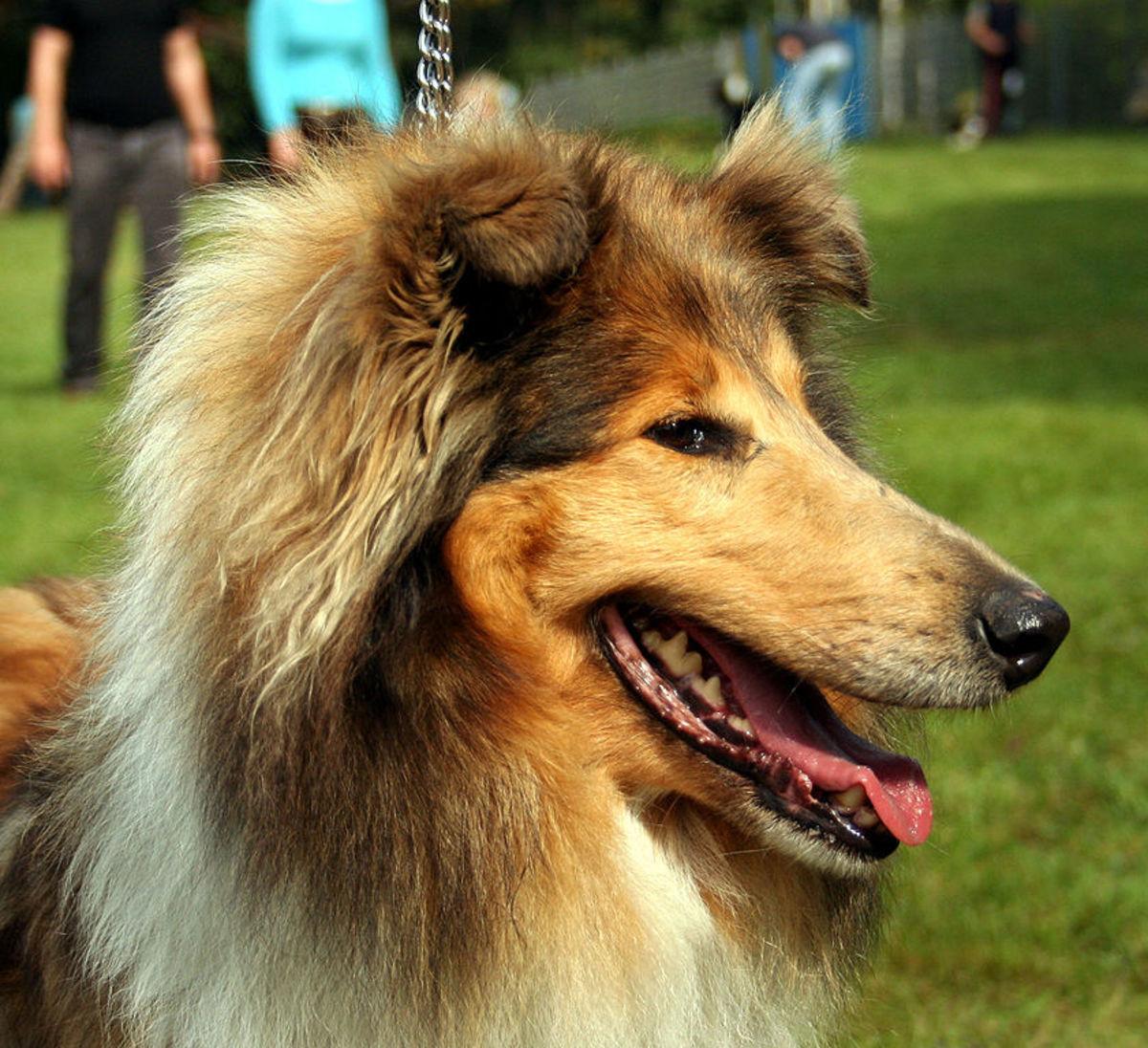 """Lassie"" was a Collie"