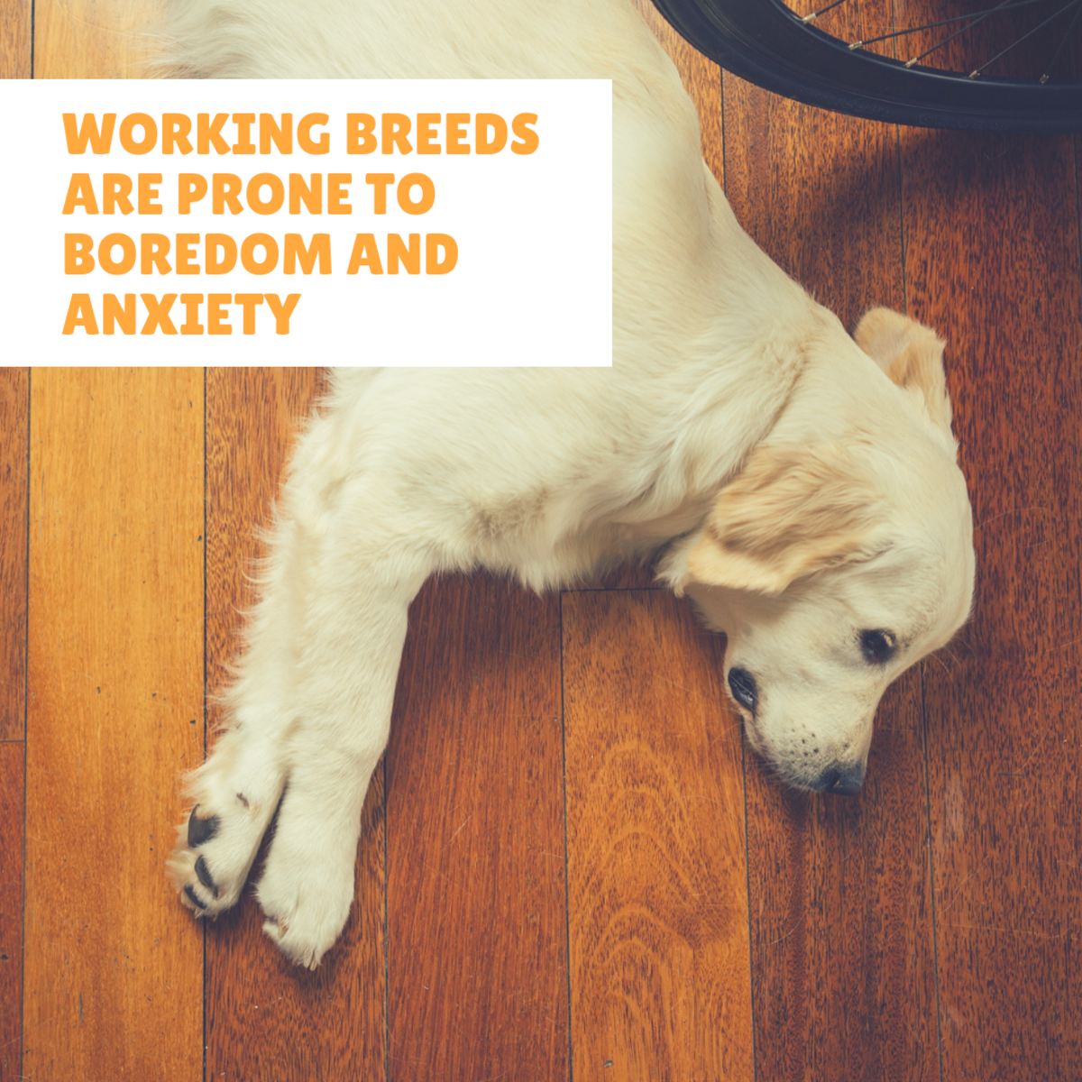 The Labrador Retriever, one of the most popular breeds in the world, is prone to boredom if kept indoors.