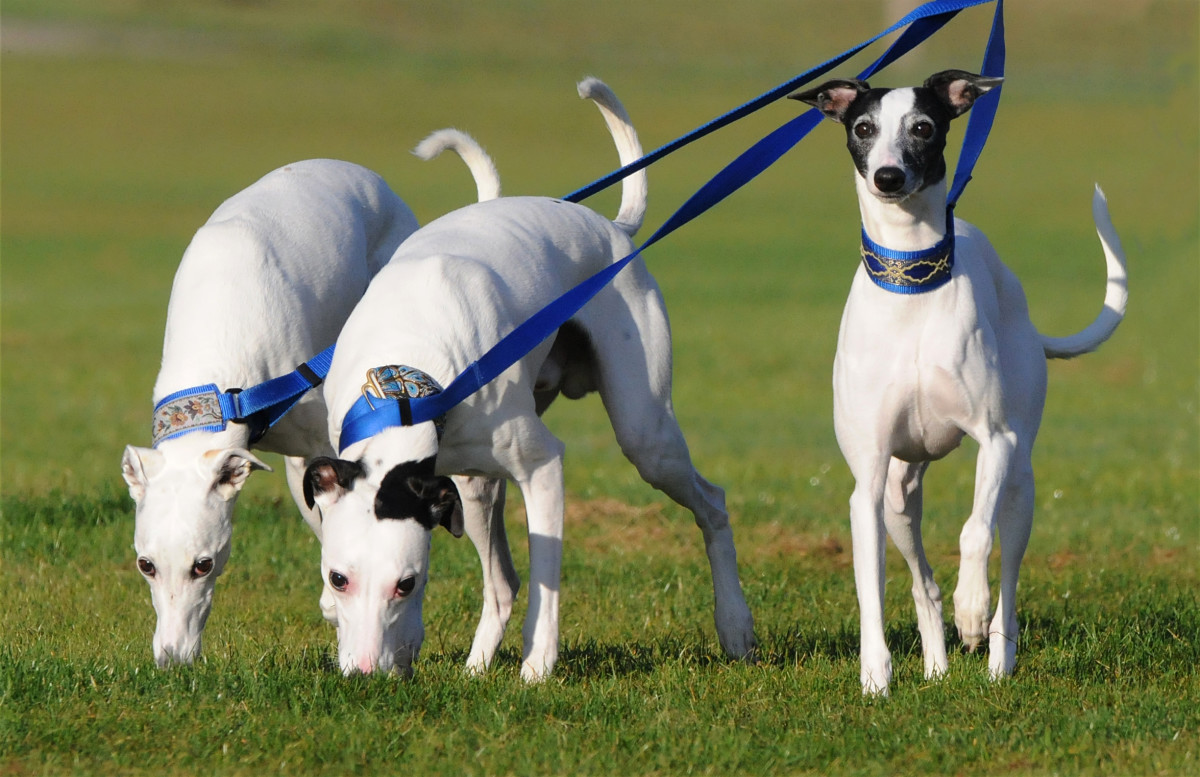 When they are awake and outside, Whippets need a chance to run.