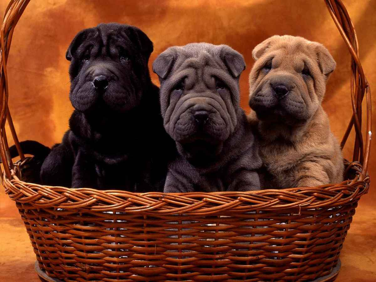 Shar Peis can be pretty independent.