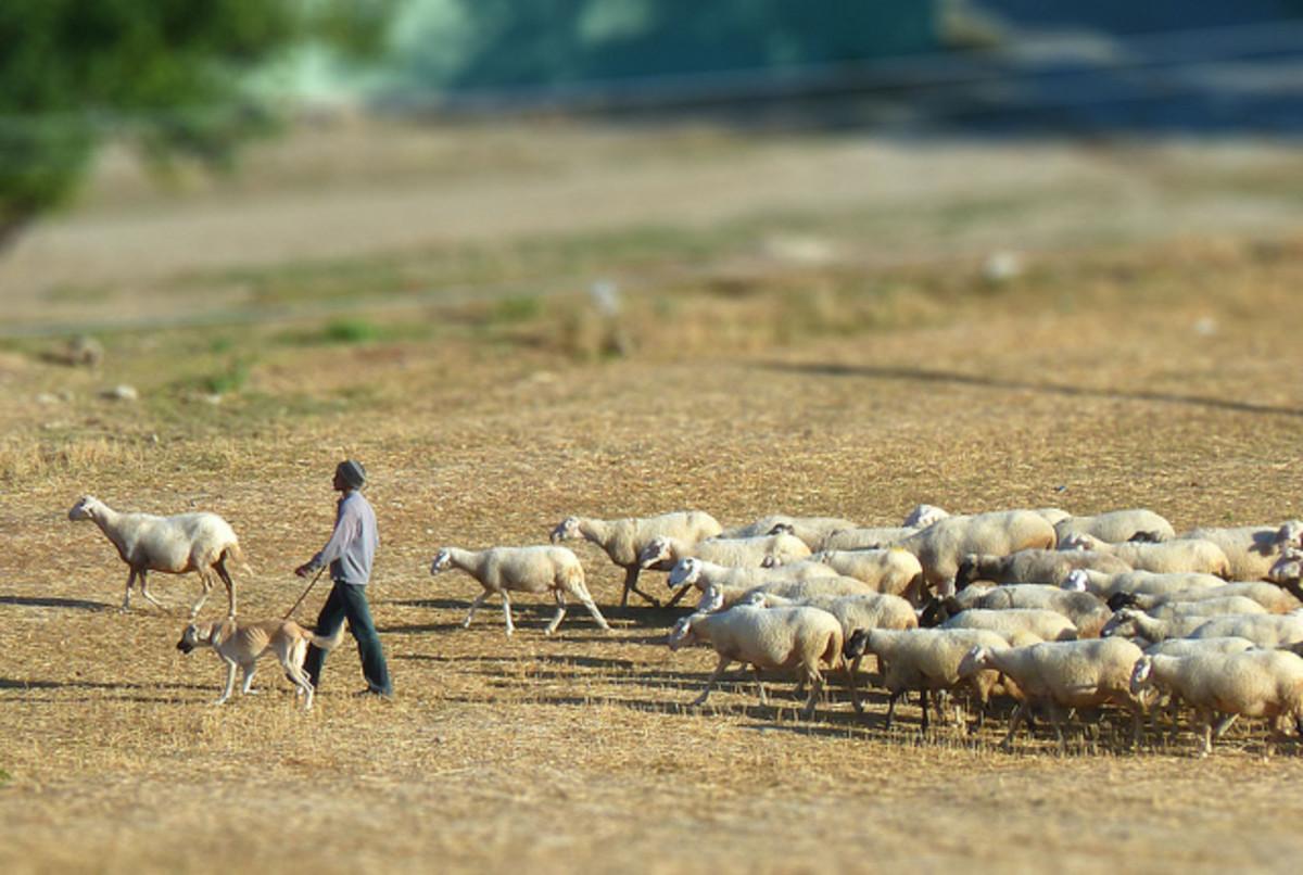 Anatolian Shepherds guarding his flock
