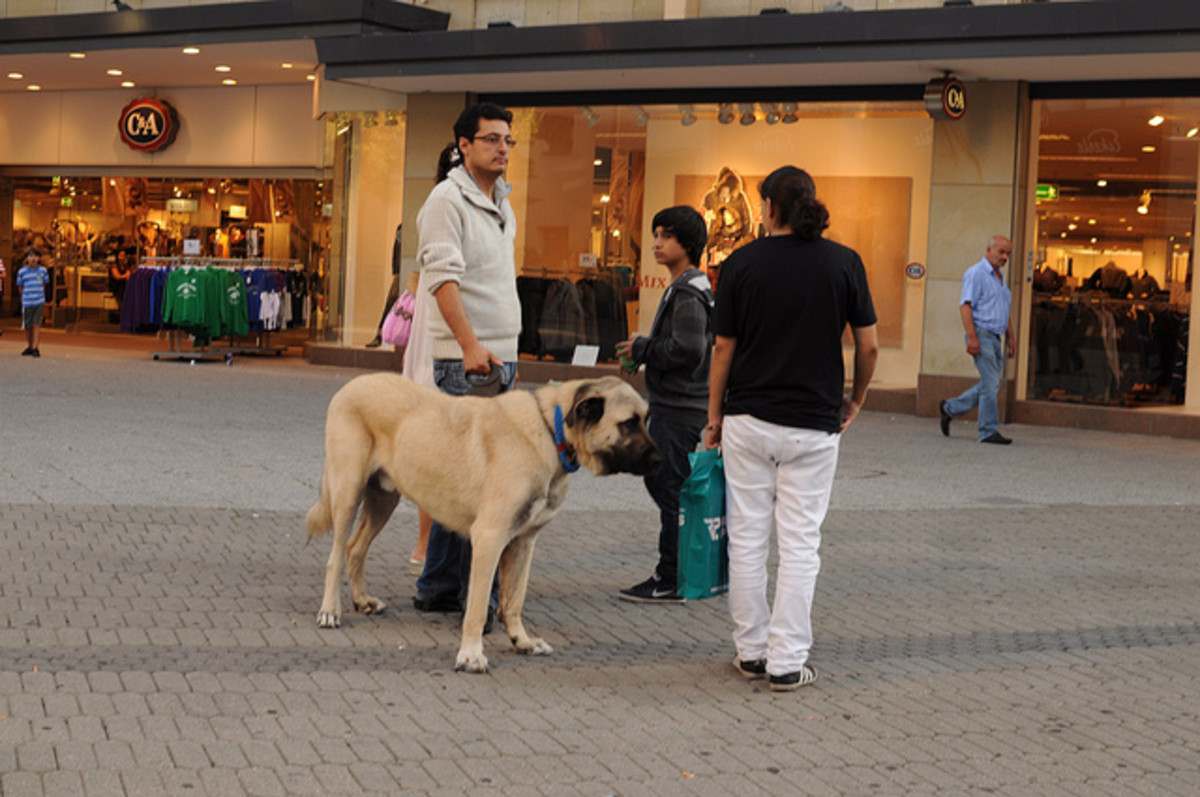 No livestock to guard? Anatolian Shepherds look great walking around the mall.