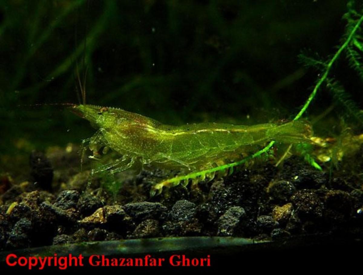 Freshwater Algae Eater Fish