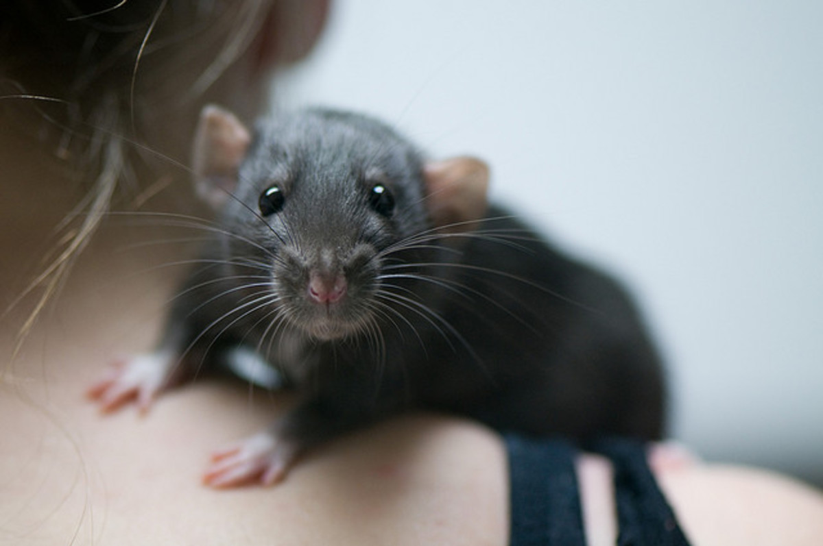 the-dangers-of-breeding-fancy-rats-10-scary-health-situations-new-breeders-should-be-aware-of-before-breeding-pet-rats
