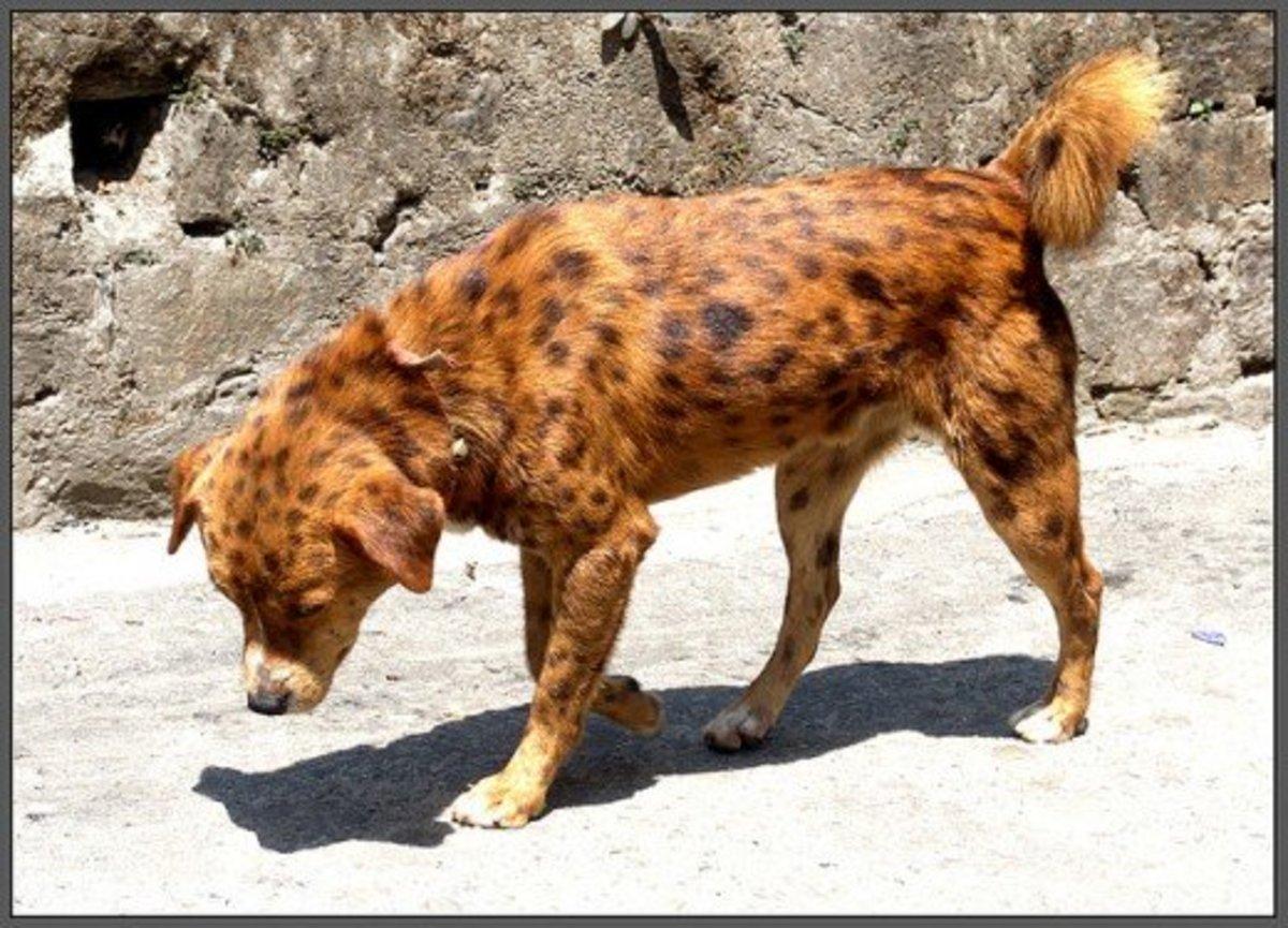 A Natural unique coloured Pariah Dogs