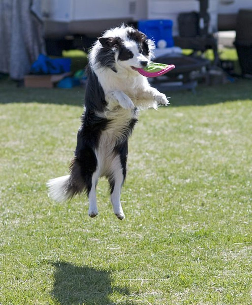 Your dog's disability need not limit his ability to enjoy life.