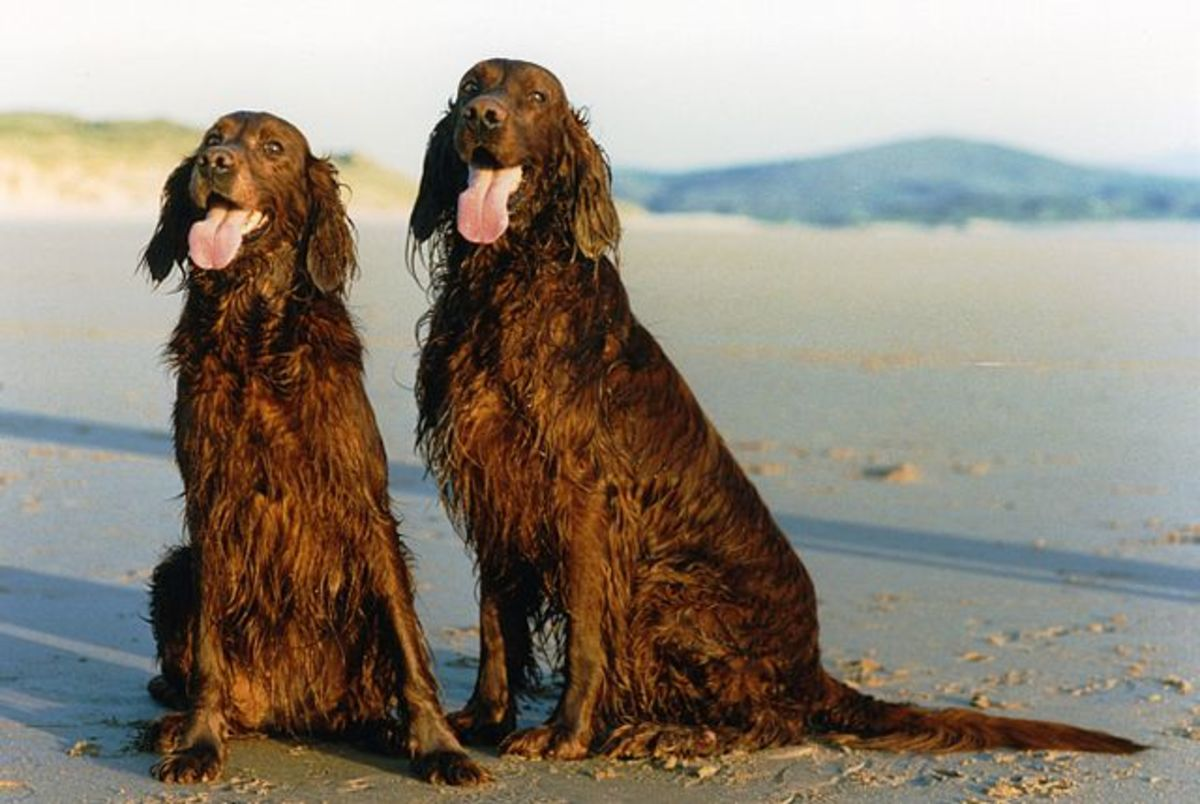 Irish setters also have a predisposition for epilepsy.