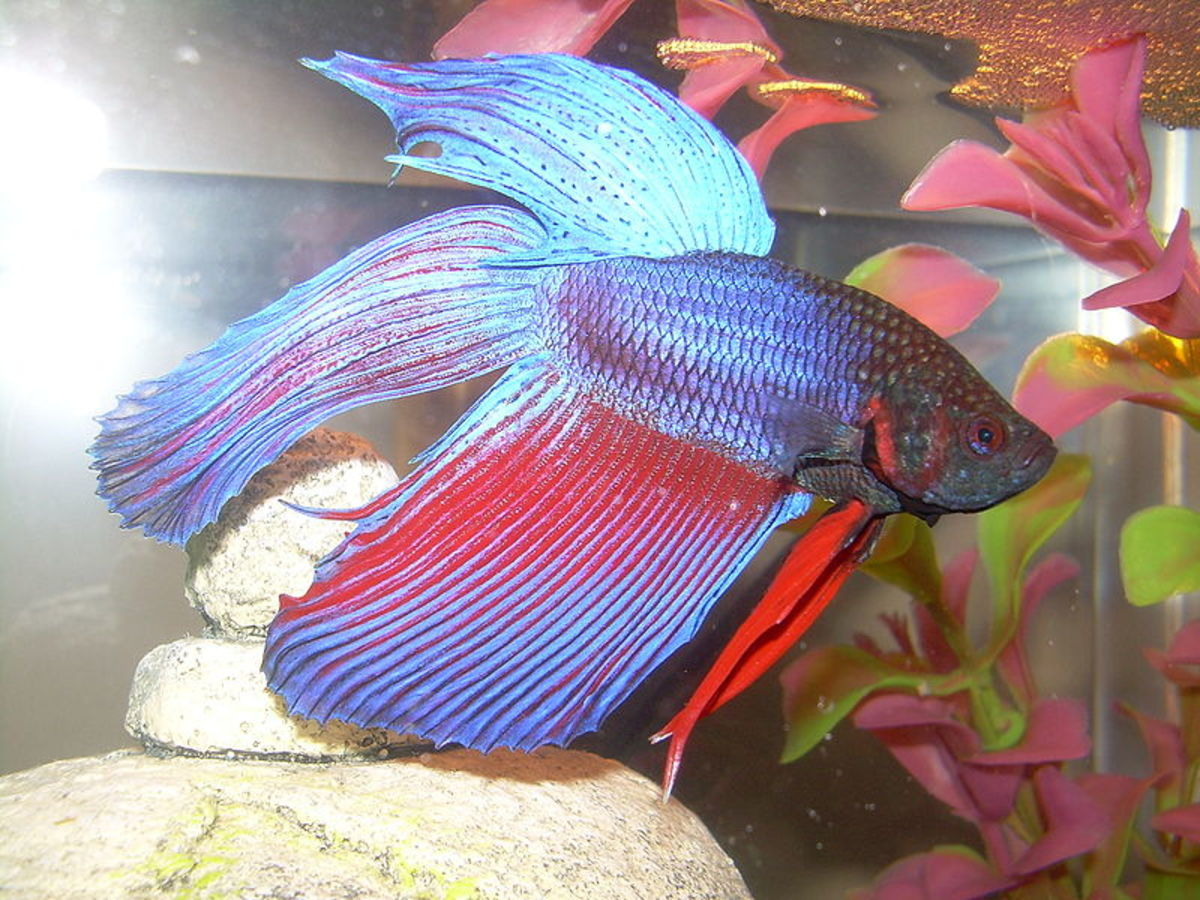 A 5-gallon tank with a filter and nano heater is the perfect home for a betta fish.