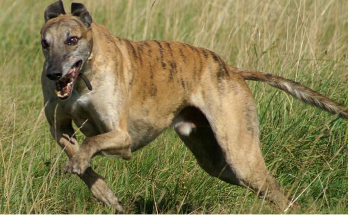 The Sarail Hound is an extremely rare dog.