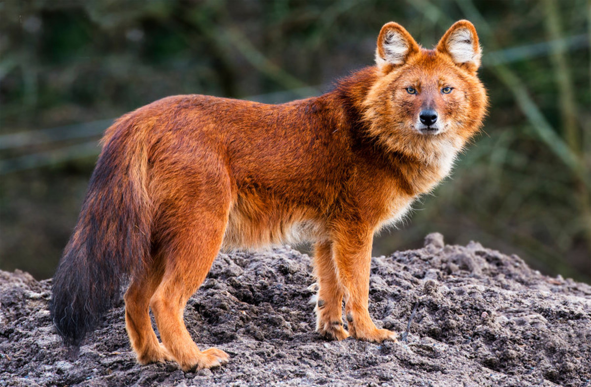 Dhole or Asaiatic/Indian Wild Dogs