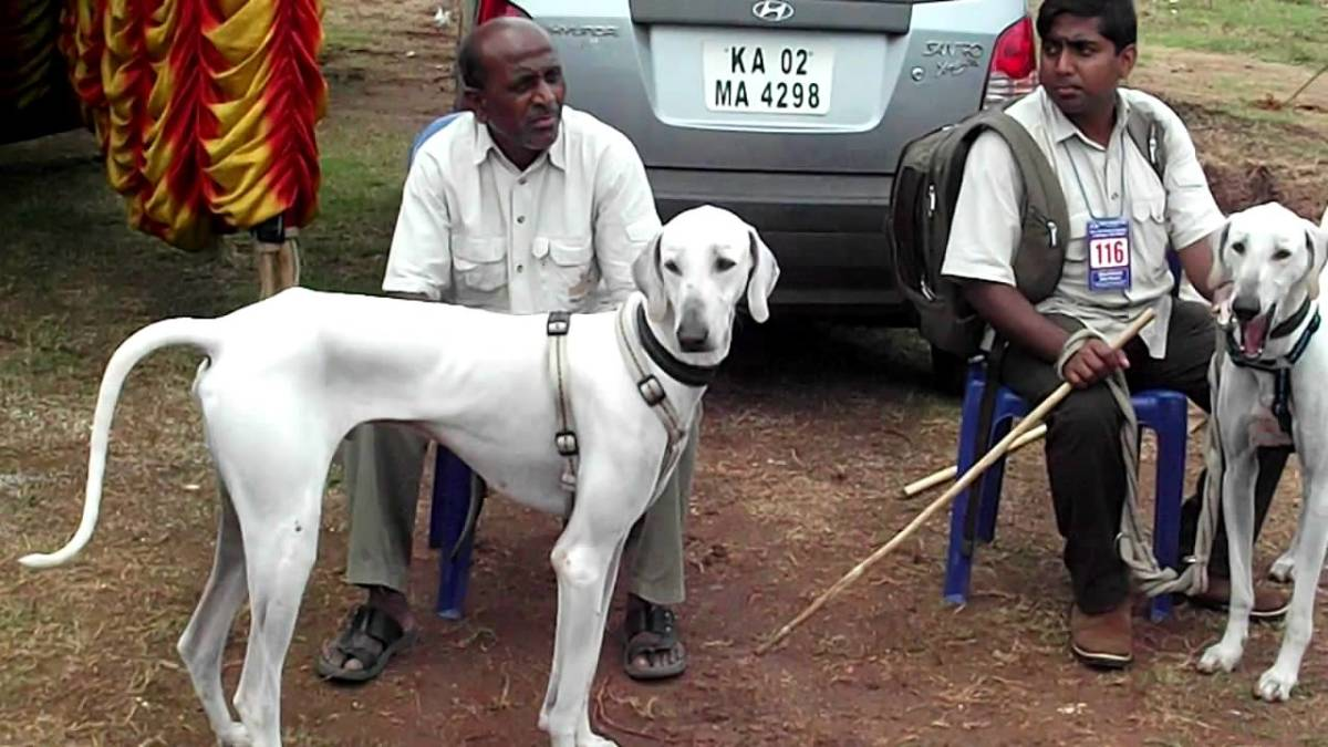 The Chippiparai or Shippiparai Dog