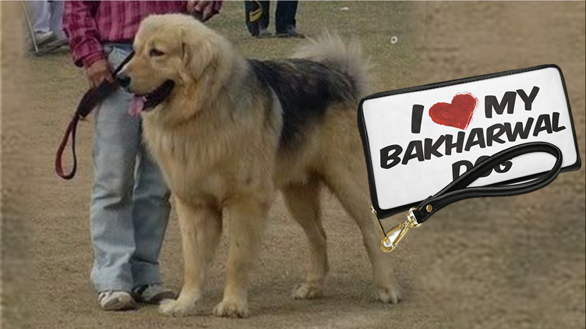 The Kashmiri or Bakharwal Sheepdog