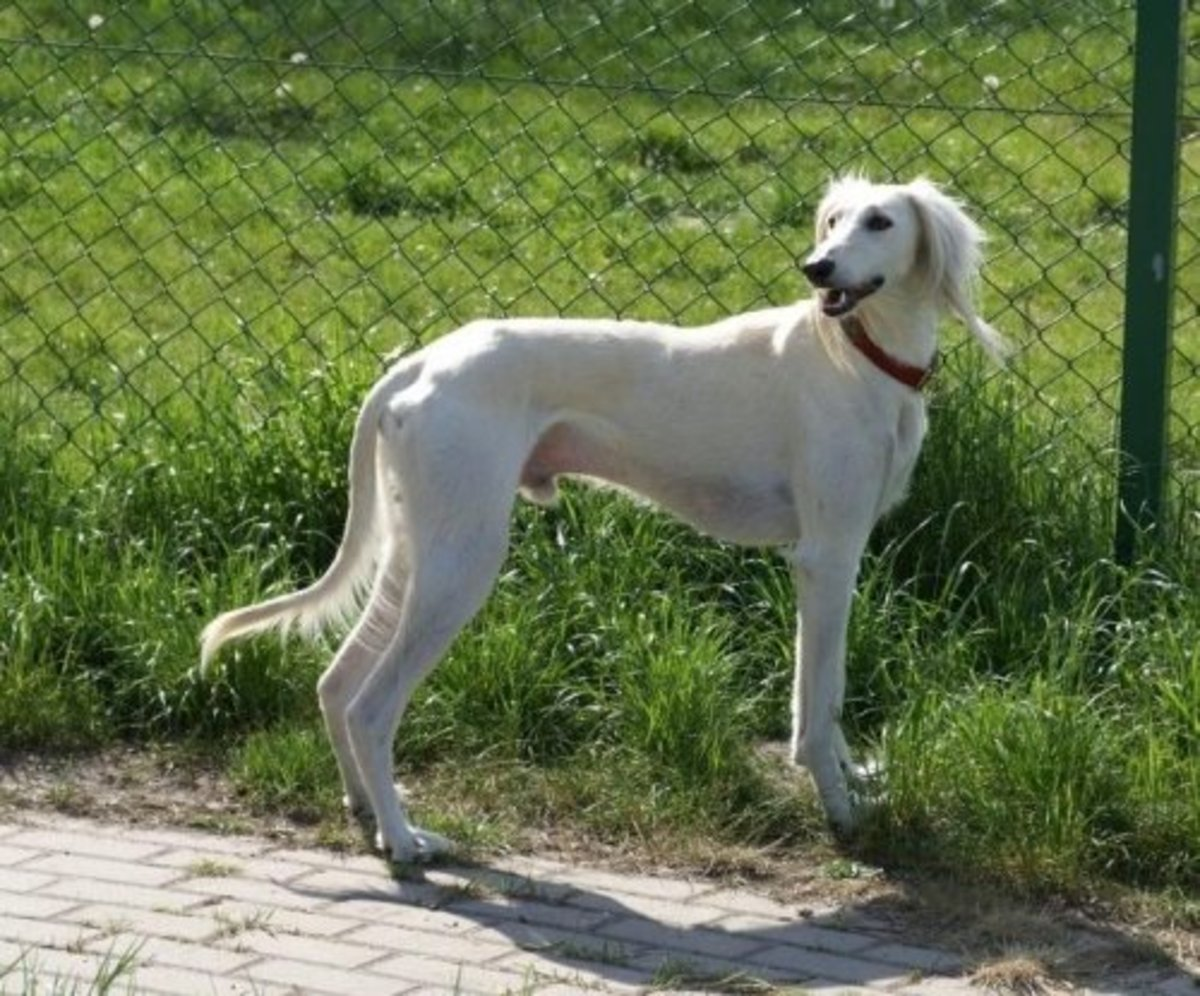Tazi or Taji Dog