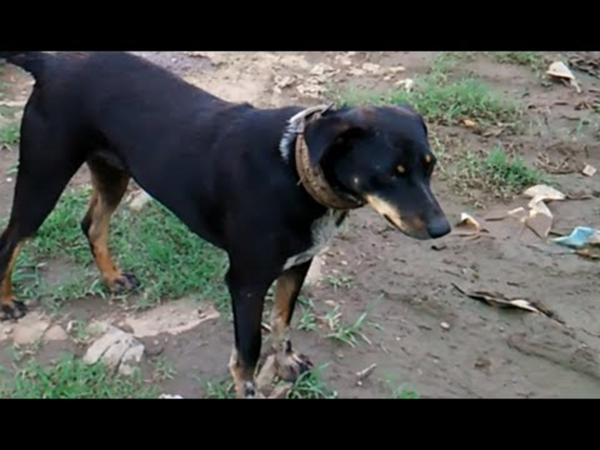 The Dhangri or Maharashtrian Shepherd Dog