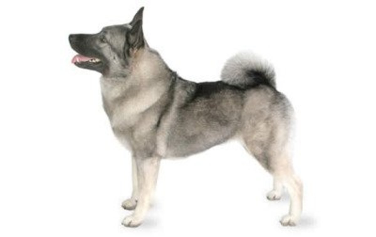 great-names-for-your-norwegian-elkhound