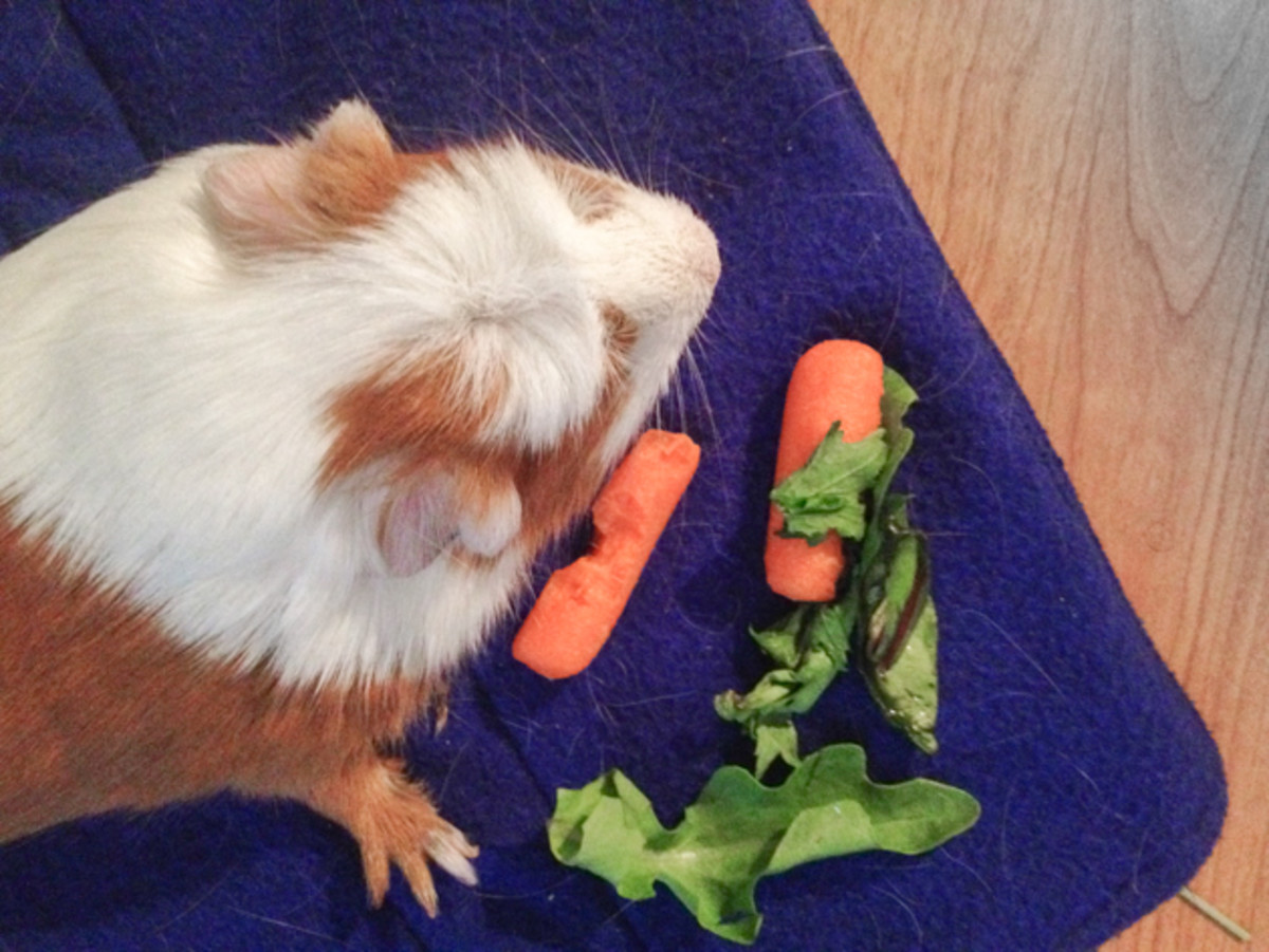 Foods like carrots and hay can also help keep a guinea pig's teeth a healthy length.
