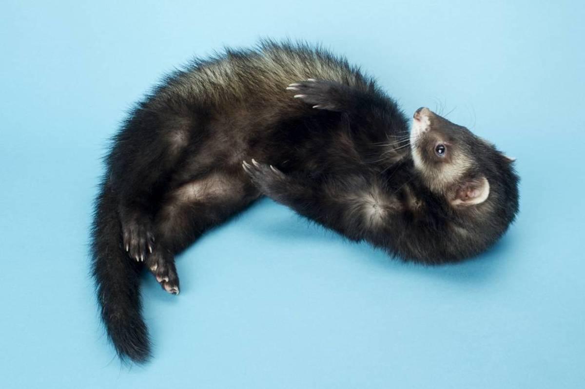 ferret-names