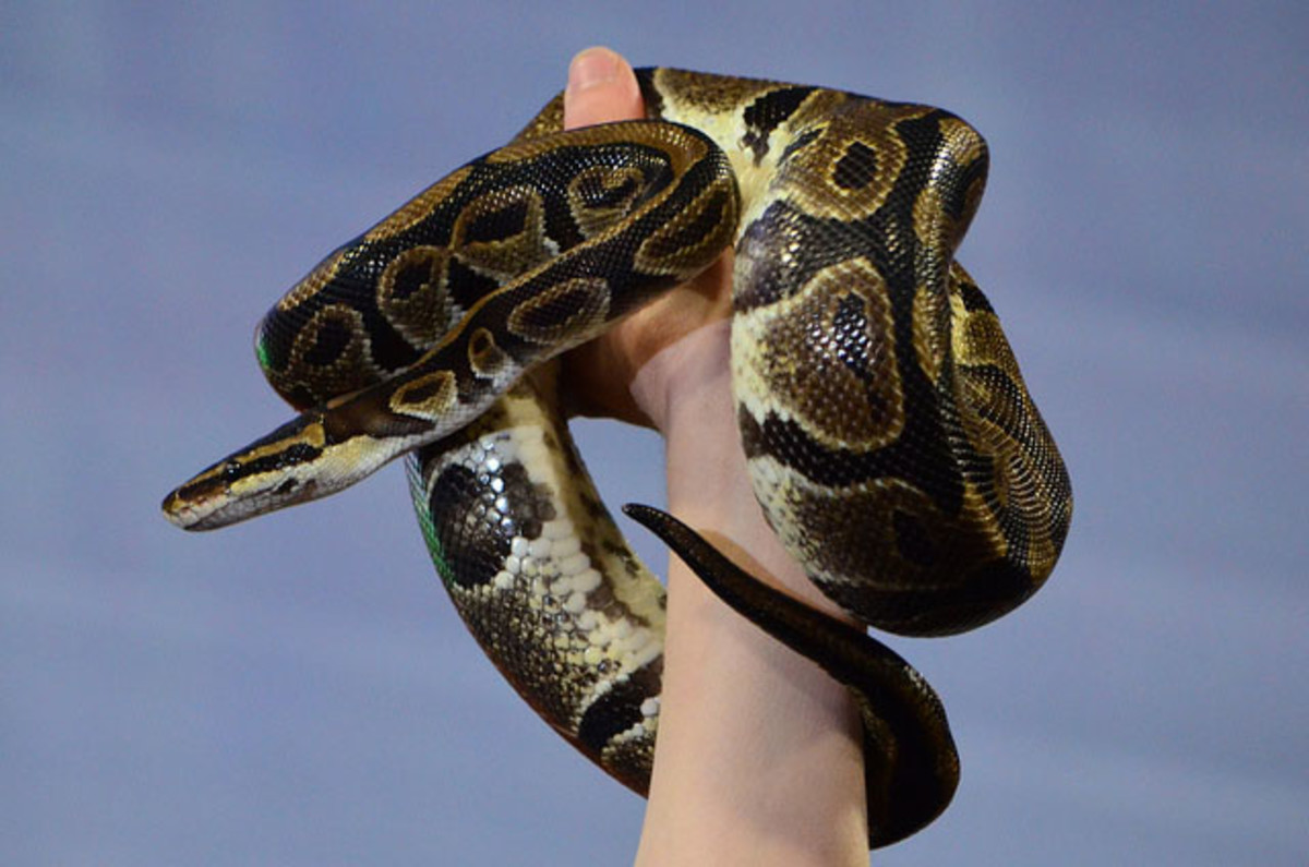 The beautiful normal ball python.