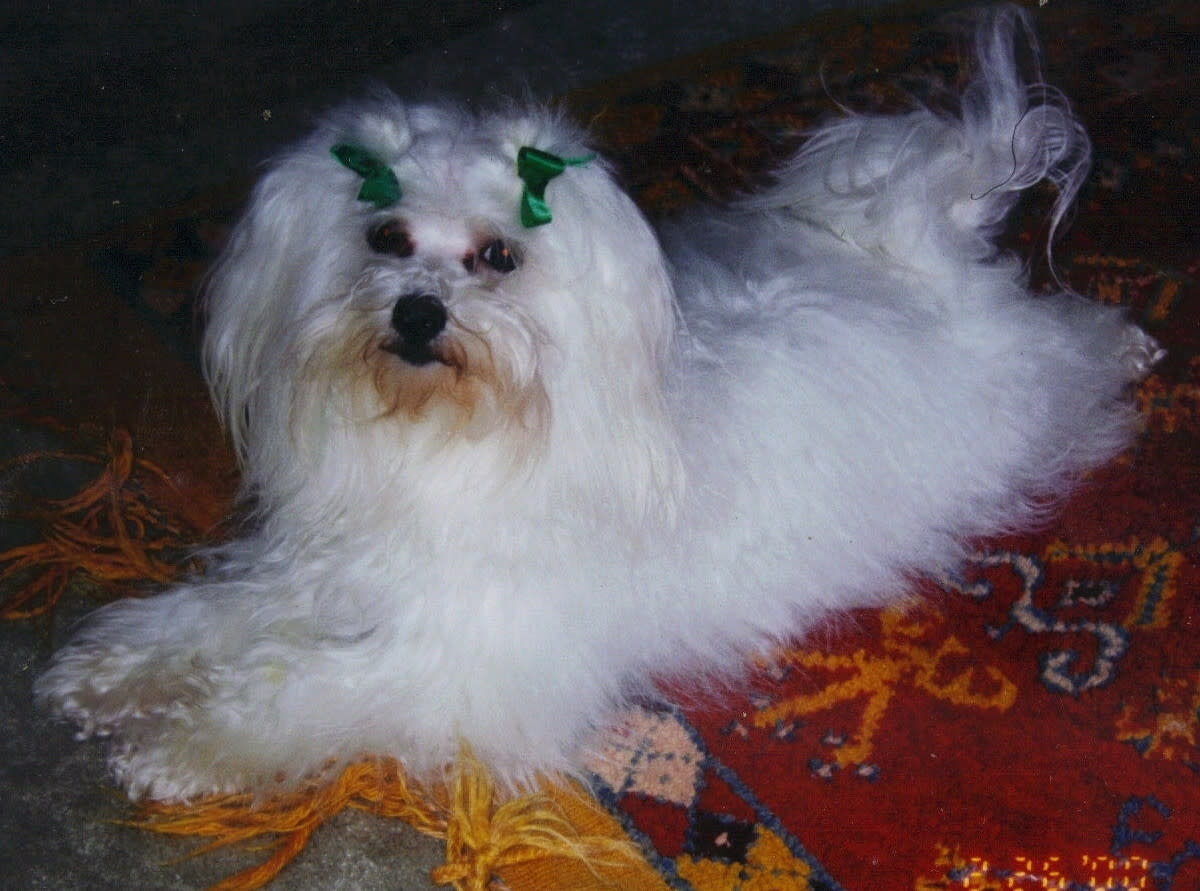 My maltese, Cafe Noir.