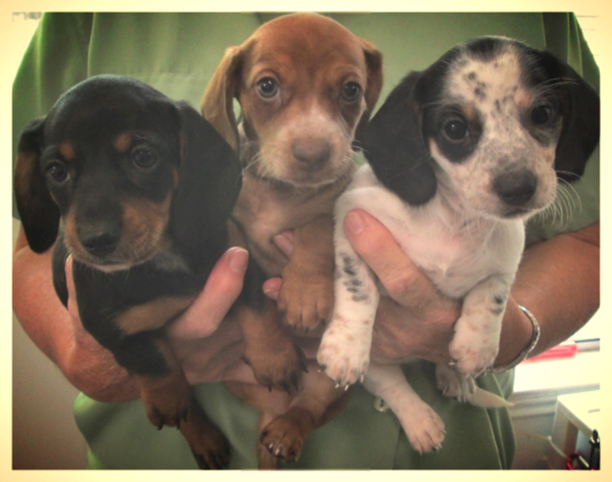 Black & Tan, Red, Black & White Piebald