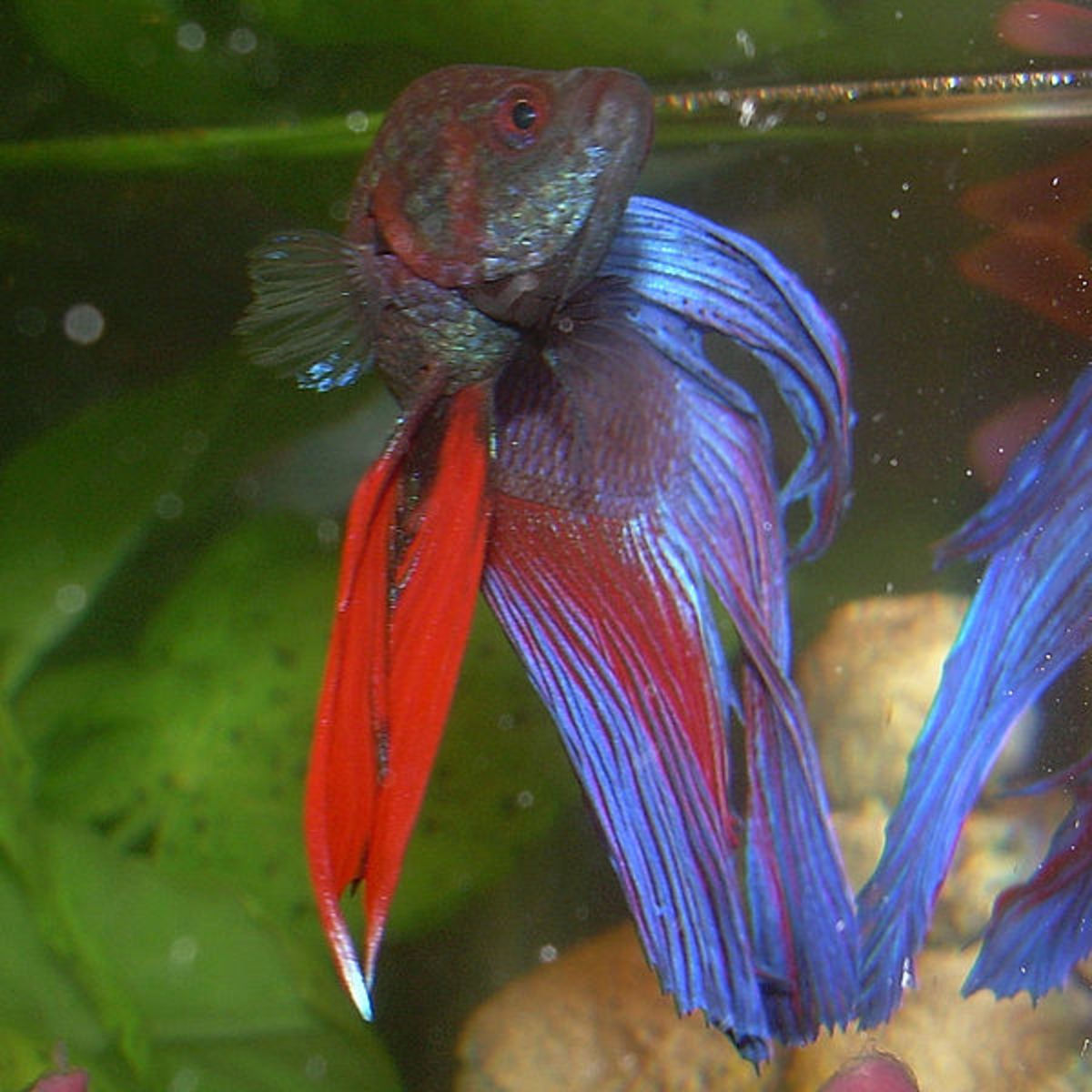 A Betta fish may be a better choice if you have limited space.