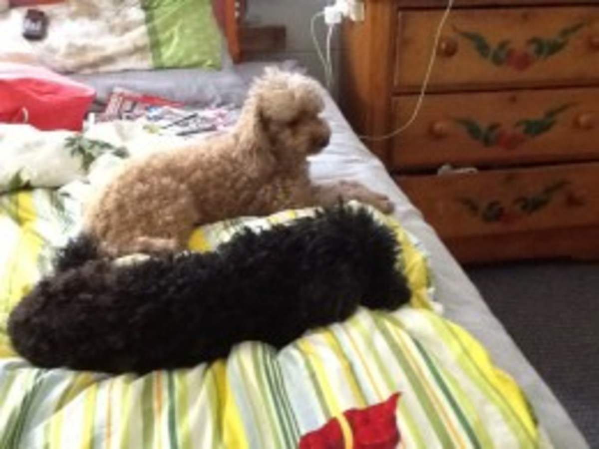 Our toy poodles Jackson and Ginger