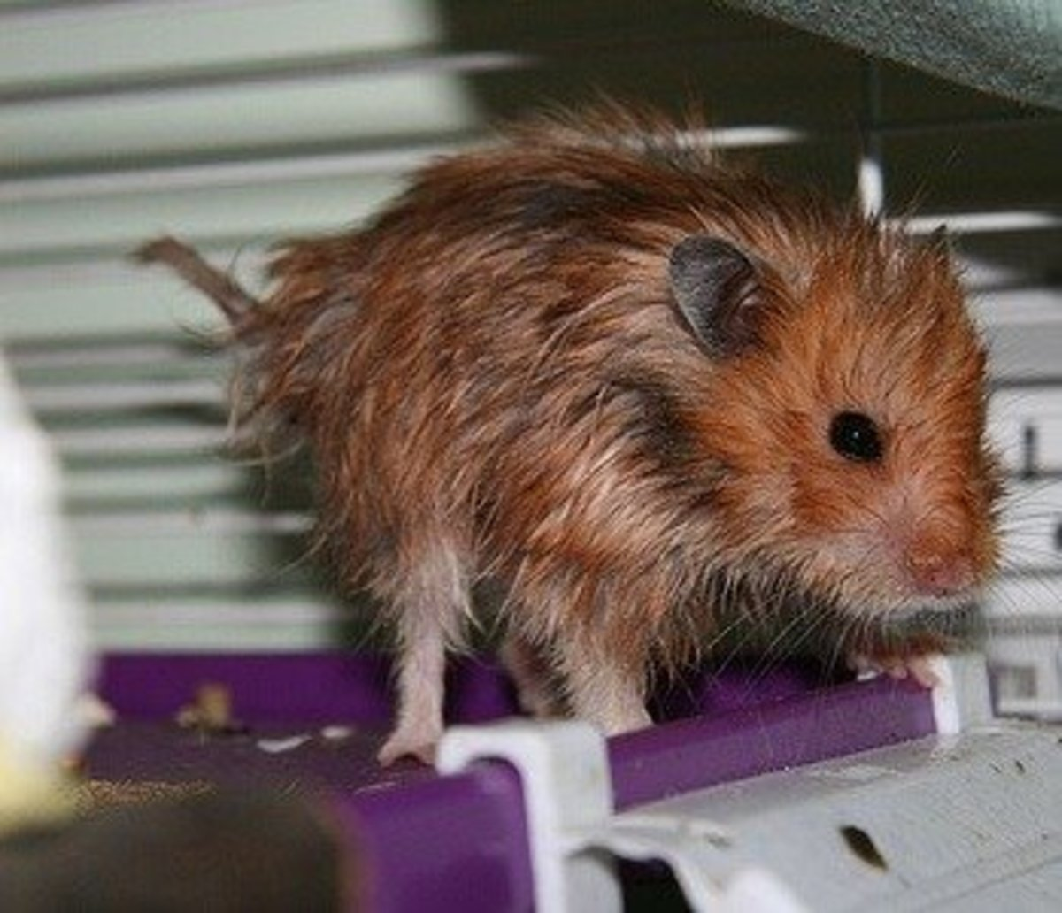A Syrian Hamster in foul condition suffering from wet tail.