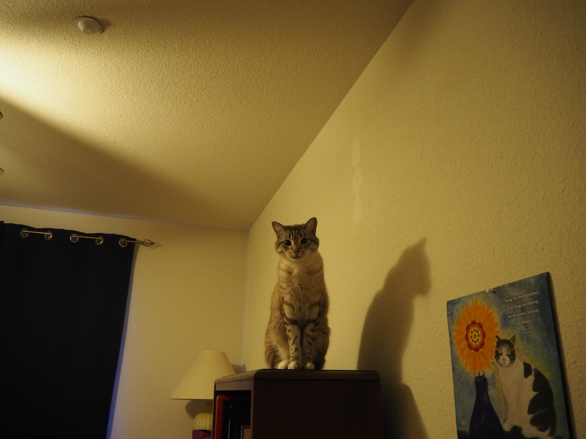 Get down from on top of that book shelf, Stormy!! This is my daughter's kitty, taken at her house.