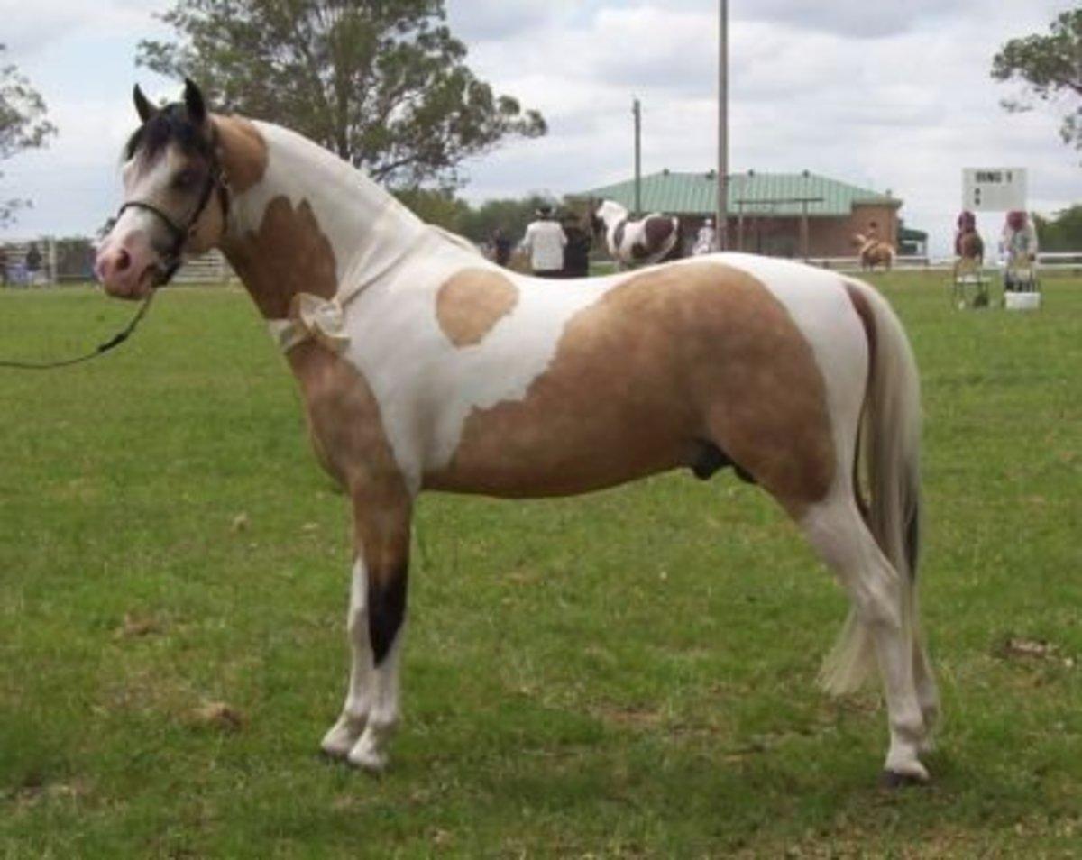 Galaceno pony