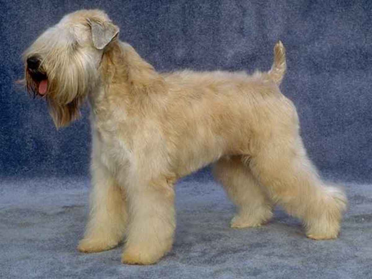 This Is The Traditional Wheaten Coat