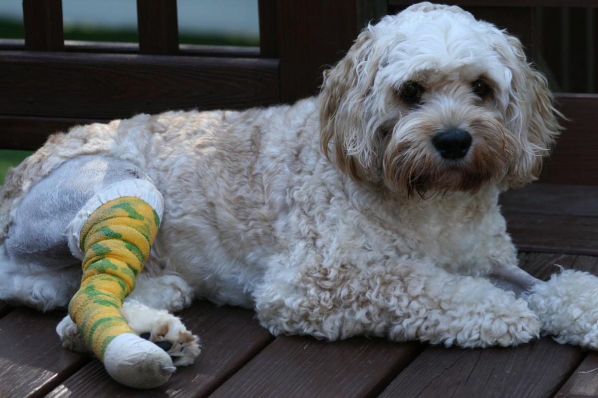 Simon after luxating patella surgery
