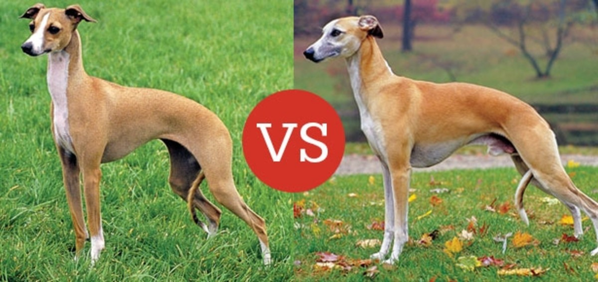 The difference between the Italian Greyhound and the Whippet.