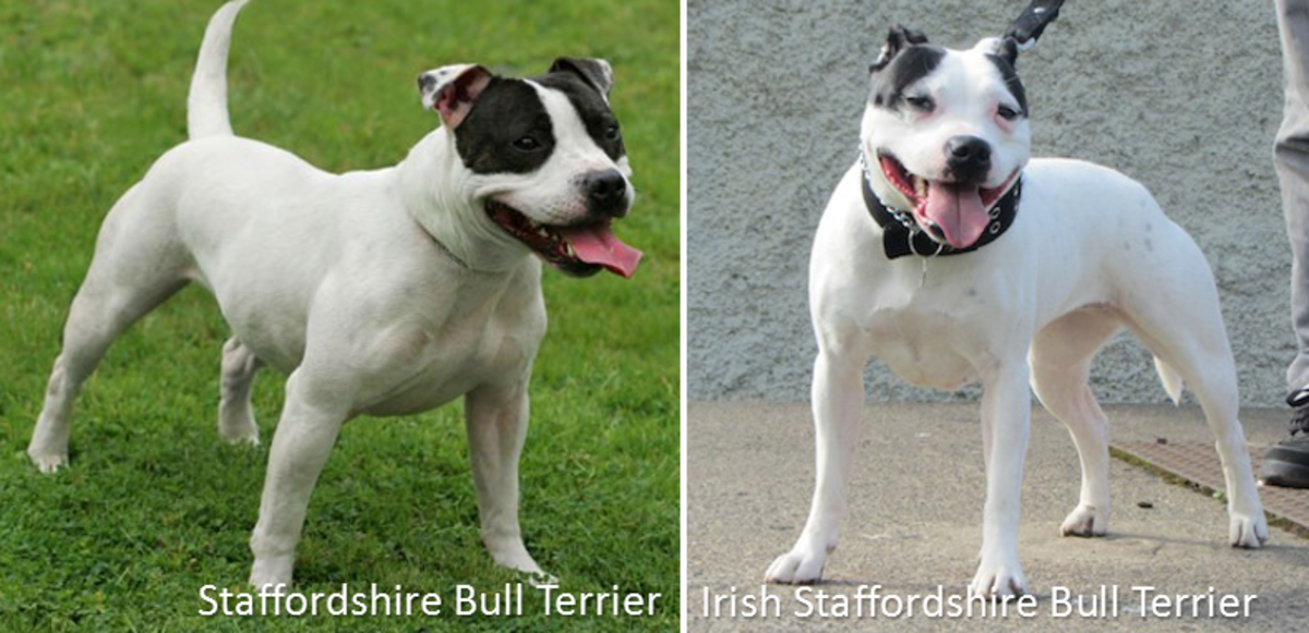 The Staffordshire Bull Terrier versus the Irish Staffordshire Bull Terrier