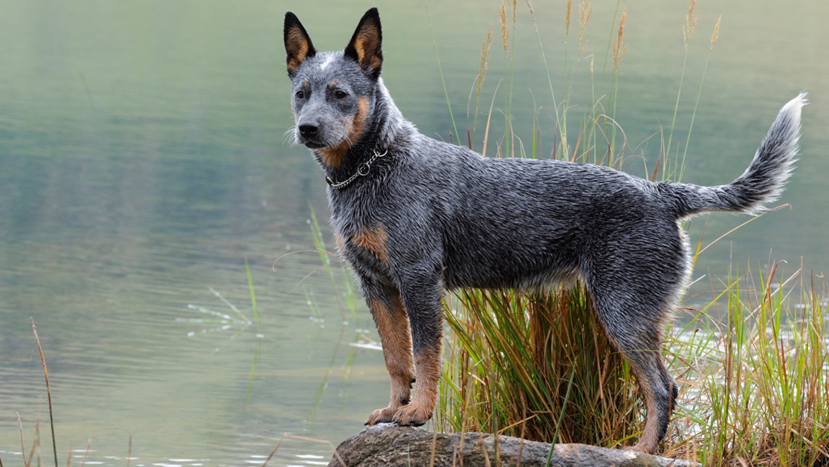 The Australian Cattle Dog